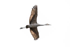 Sandhill Cranes at Wheeler NWR